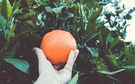Preview wallpaper Ripe oranges, tree, hand