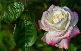 Rosa, pétalas brancas rosa, orvalho