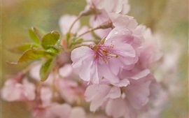 Sakura flowering, pink flowers, after rain