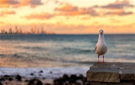 Preview wallpaper Seagull, sunset, red sky