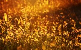 Setaria, grass, sunset, summer