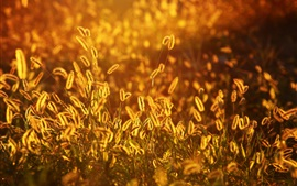 Setaria, трава, закат, лето