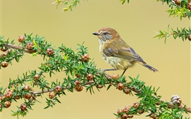 Preview wallpaper Sparrow, twigs, fruit, leaves