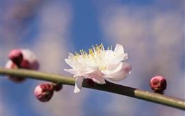 Primavera, galhos, flores florescem