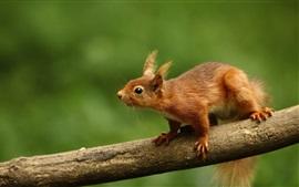 Esquilo, ramo, fundo verde