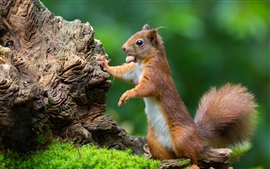 Esquilo, grama, fundo verde