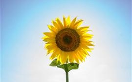 壁紙のプレビュー ひまわり、黄色い花びら、バックライト、青空