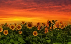 Sunflowers at dusk, red sky, clouds