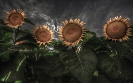 Preview wallpaper Sunflowers, backlight