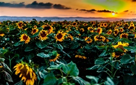 Preview wallpaper Sunflowers fields, sunset