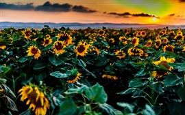 Girasoles campos, puesta de sol