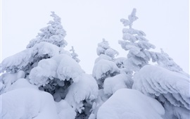 Thick snow, spruce, winter