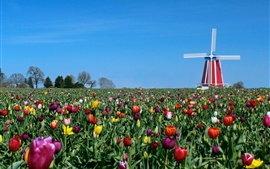 Preview wallpaper Tulips, windmill, blue sky