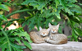 Preview wallpaper Two cats rest, green leaves