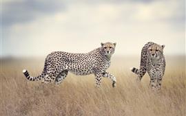 Duas guepardas, predadores, grama