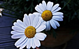 Two daisies flowers, white petals