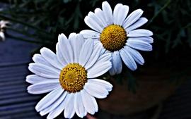 Duas flores de margaridas, pétalas brancas