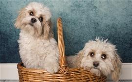 Две пушистые собаки в корзине
