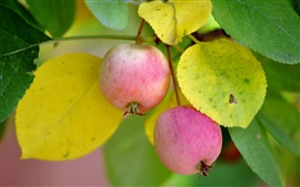 Two ripe apples, leaves, twigs