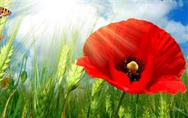 Пшеница, красный цветок мака