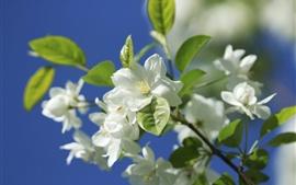 Flores de manzana blanca, ramitas, primavera