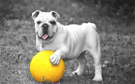 Preview wallpaper White bulldog and yellow ball