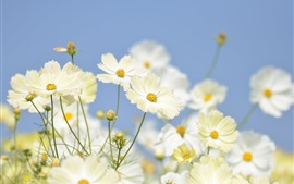 Preview wallpaper White kosmeya flowers close-up