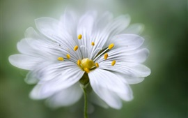 Preview wallpaper White petals flower macro photography, stamens