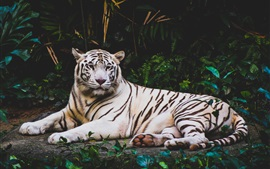 White tiger laying to rest