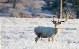 Inverno, cervo, olhe para trás