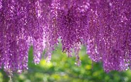 Wisteria, inflorescência, lindas flores roxas