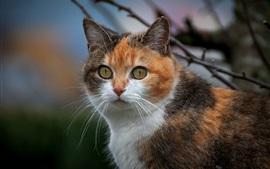 Olhos amarelos gato, aparência, rosto, três cores