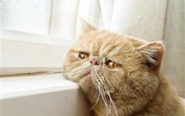 Olhos amarelos gato, janela