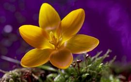 Flor amarela, pétalas, orvalho