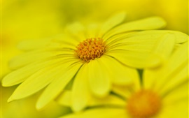 Preview wallpaper Yellow petals flowers macro photography, bokeh