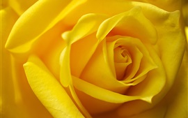 Preview wallpaper Yellow petals rose macro photography