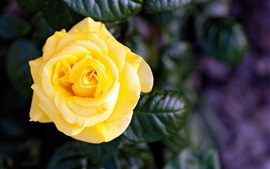Preview wallpaper Yellow rose, single flower
