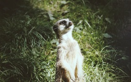 Preview wallpaper A meerkat standing up