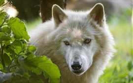 Arctic wolf, face, look, leaves
