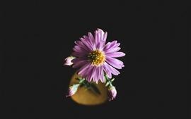 Aster, pétalas de flores rosa