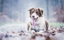 Preview wallpaper Australian shepherd dog rest, tongue, leaves