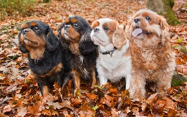 Preview wallpaper Autumn, four dogs, friends