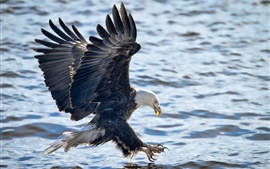 Preview wallpaper Bald eagle, flight, wings, water