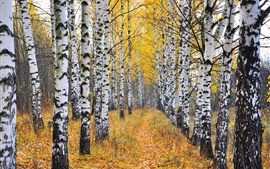 Preview wallpaper Birch forest, trees, grass, autumn
