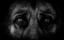 Preview wallpaper Black dog eyes