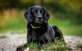 壁紙のプレビュー 黒い犬の休息、草