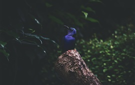 Preview wallpaper Blue feather kingfisher, stump