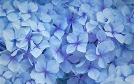 Blue hydrangea flowers, petals, water droplets