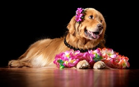 Preview wallpaper Brown dog and flowers, retriever