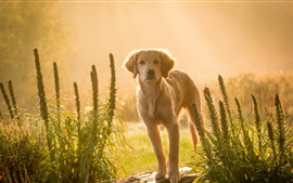 Preview wallpaper Brown dog at sunset, look, grass